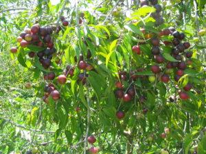 Camu_camu_maduro en planta Mazamari_12_Abril_2005[1]