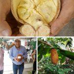 Super cabosse cacao colombia_Cacao de Colombie premium biologique